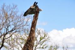 Kruger National Park, South Africa  © Rebecca Vassie, 2015